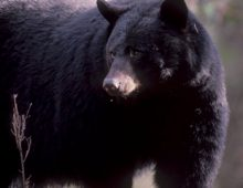 Everything you need to know about Smoky Mountain Black Bears