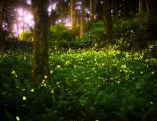 Synchronous Elkmont Fireflies Event in the Smoky Mountains