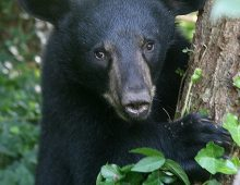 Where to See Black Bears in the Smoky Mountains